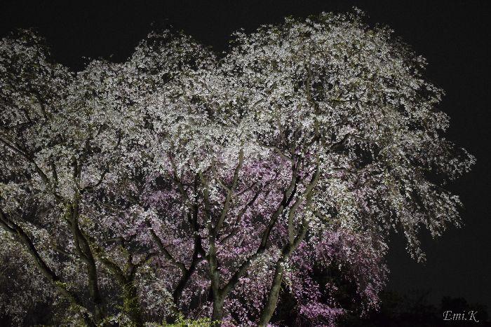 098-Emi-枝垂桜ライトアップ