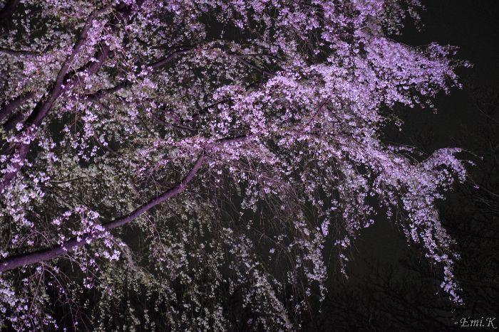 113-Emi-枝垂桜ライトアップ