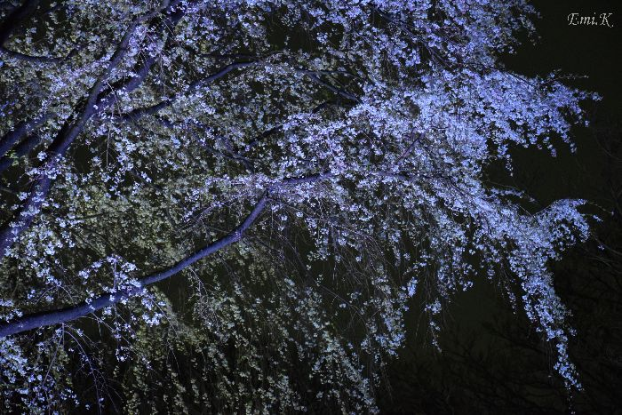 121-Emi-枝垂桜ライトアップ