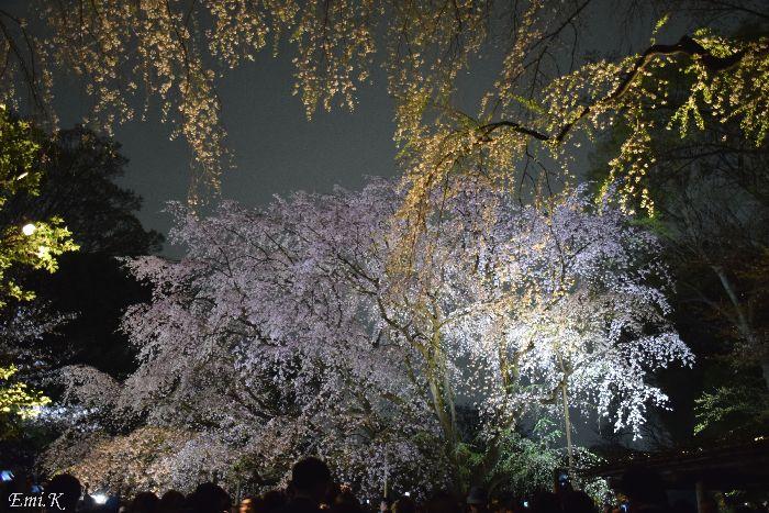 132-New-Emi-枝垂桜ライトアップ