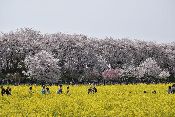 015-桜&菜の花