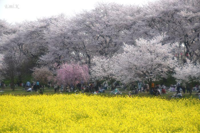 100-New-Emi-桜&菜の花
