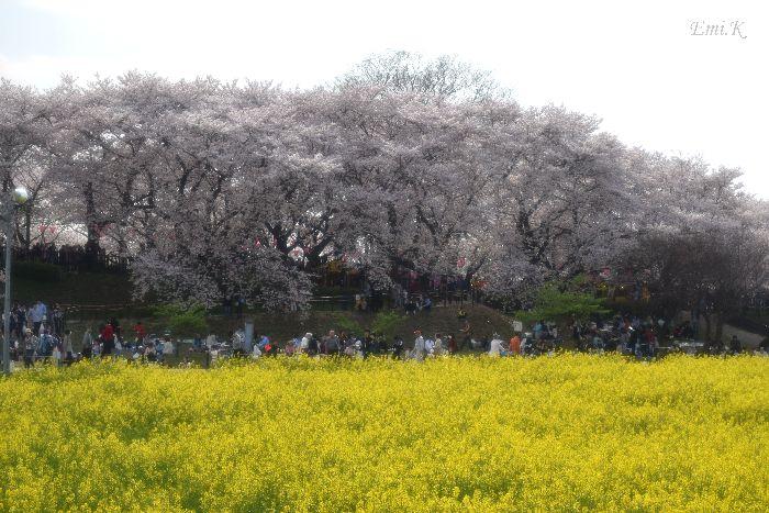 099-New-Emi-桜&菜の花