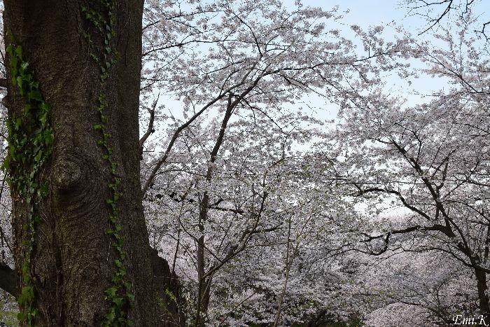 123-Emi-桜
