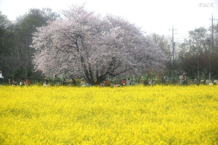 108-New-Emi-桜&菜の花