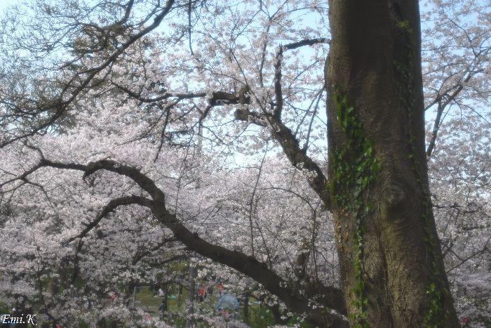 118-NewEmi-桜