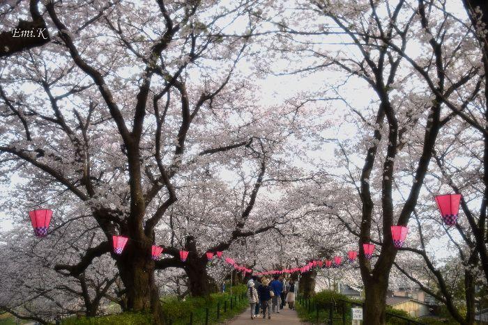 151-New-Emi-桜のトンネル