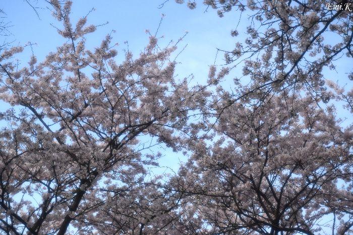 124-New-Emi-桜