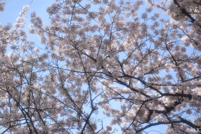 139-New-Emi-桜