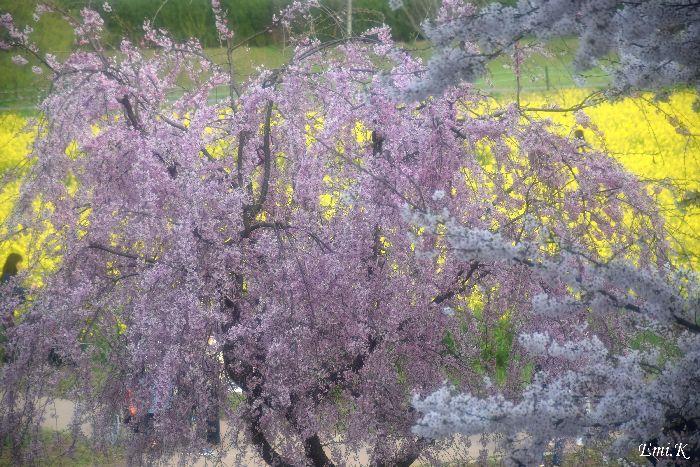 141-New-Emi-しだれ桜