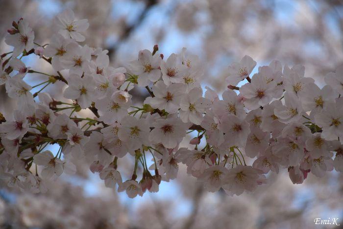 174-New-Emi-桜