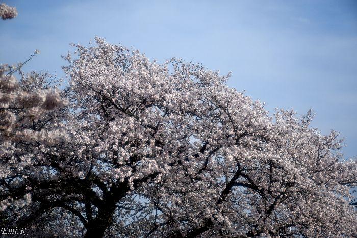 158-NewEmi-桜