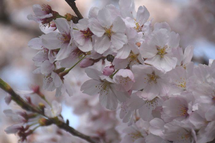 164-New-桜