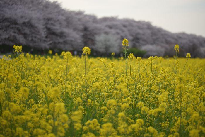 185-菜の花