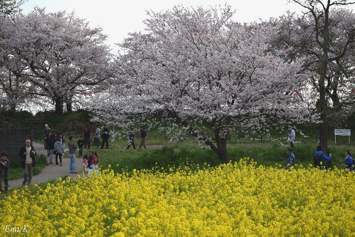 201-New-Emi-桜&菜の花