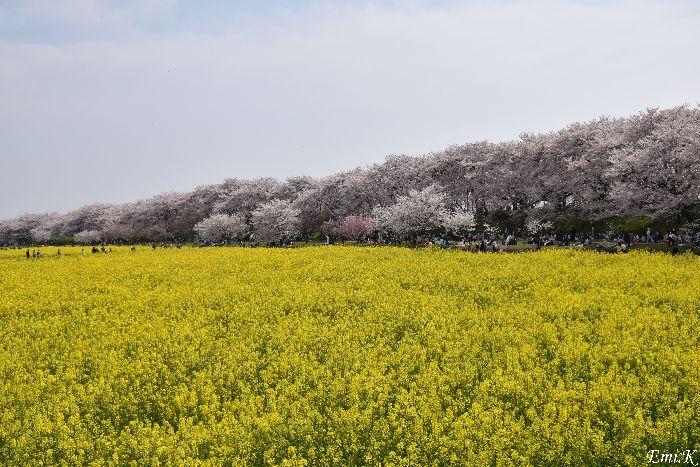 002-Emi-桜&菜の花