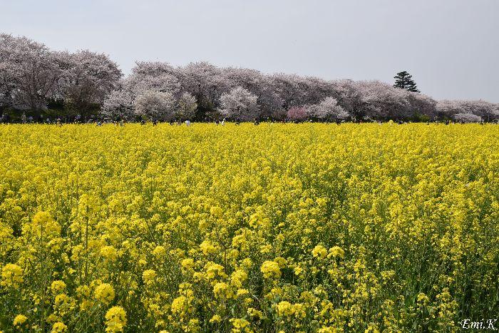 001-Emi-桜&菜の花