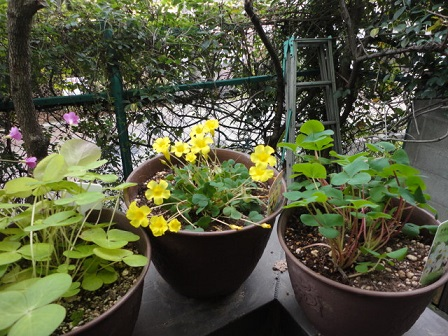 カタバミ3種