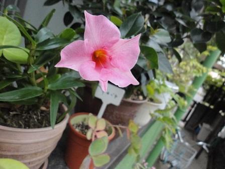 サンパラソルまだ咲いています