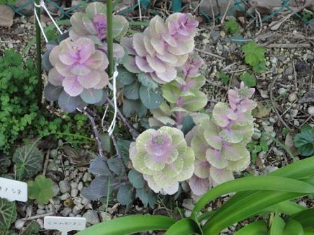 ミニハボタンの花芽