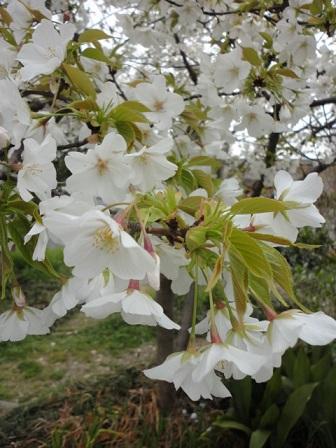ソメイヨシノでない桜
