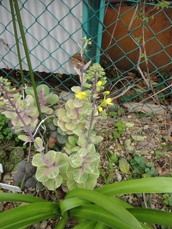 ミニハボタン開花
