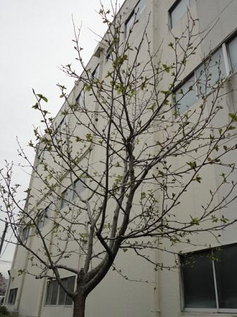 ハンカチの木①