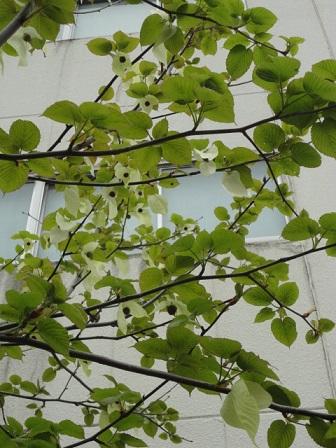 ハンカチノ木①