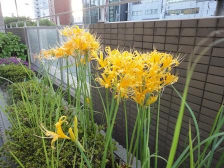 黄色の彼岸花①