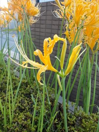 黄色の彼岸花②