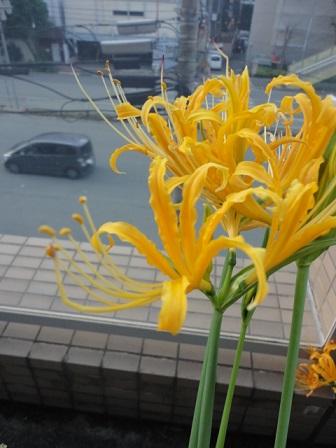 黄色の彼岸花④