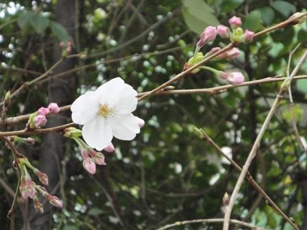 我が家の開花宣言①