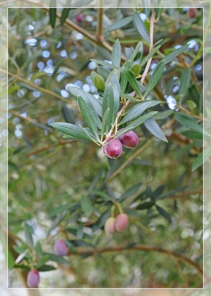 オリーブ収穫1