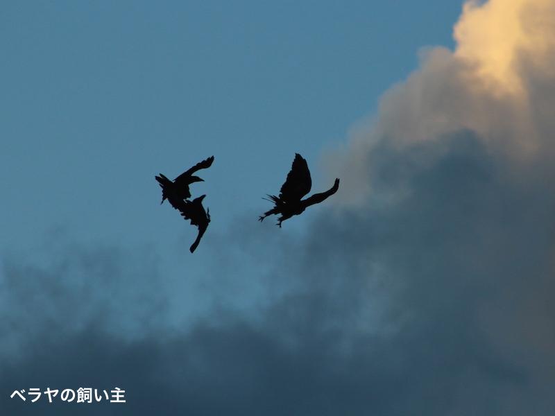 BNK_Crows Kite_IMG_0590