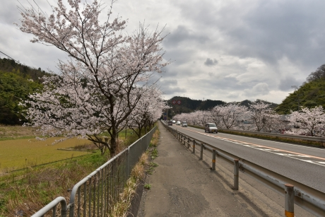 6桜が満開