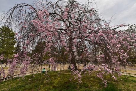 6岡崎公園の枝垂れ桜