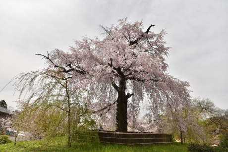 11ここも枝垂桜