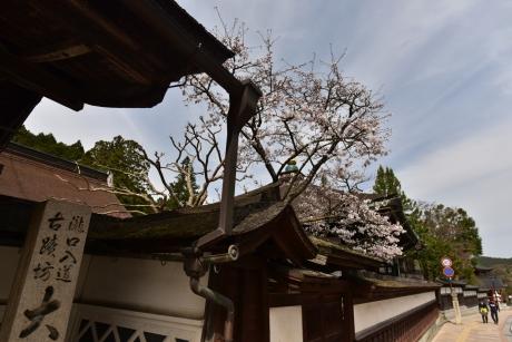 24桜が散り気味