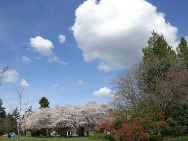 queen-elizabeth-park_cherry-blossoms_1.jpg