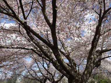 queen-elizabeth-park_cherry-blossoms_3.jpg