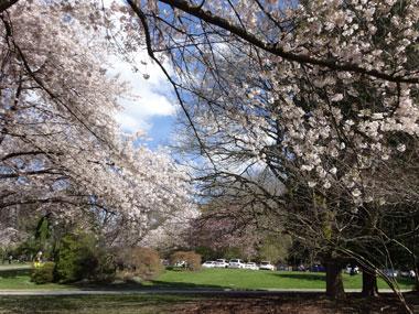 queen-elizabeth-park_cherry-blossoms_4.jpg