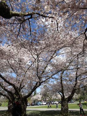 queen-elizabeth-park_cherry-blossoms_5.jpg
