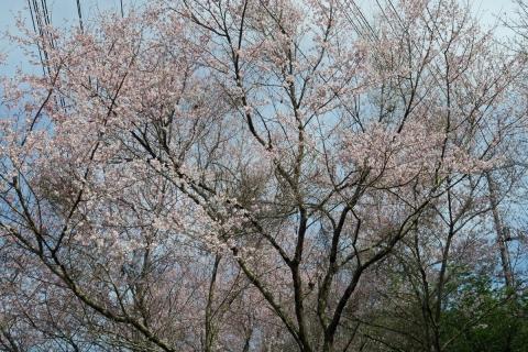 20満開の桜