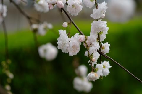 01鶴見川沿いの桜