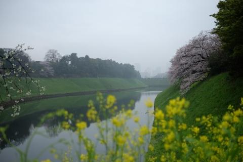 02お濠の桜
