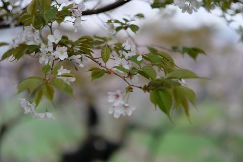 03お濠の桜