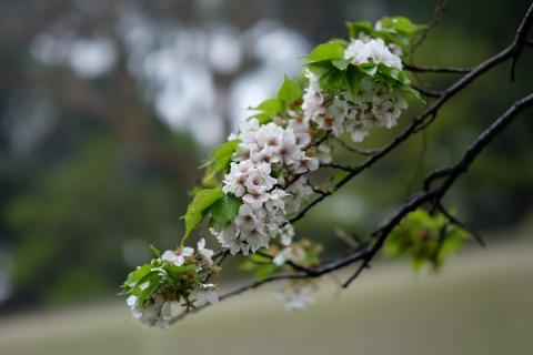 04お濠の桜