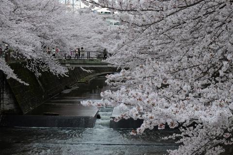 01恩田川の桜