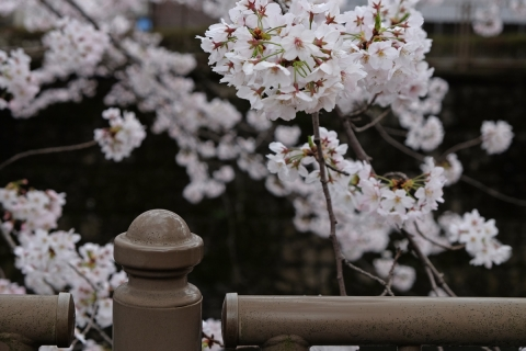 02恩田川の桜