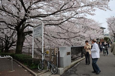 03恩田川の桜